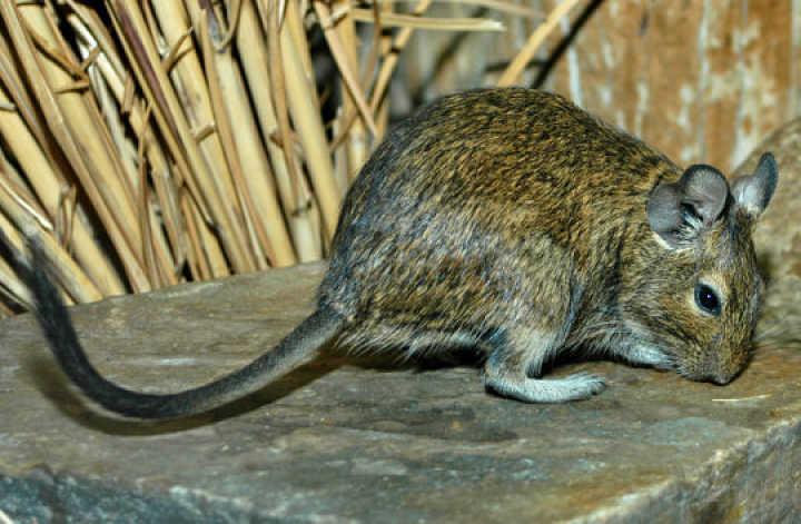 Raton cola de pincel