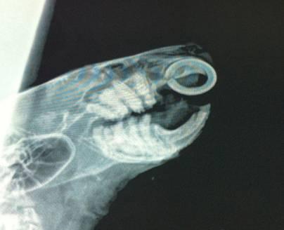 Radiografia de los dientes de un degu